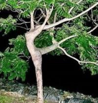 albero-che-danza-285x300